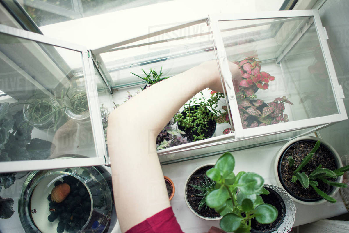 Wonderful Arm Of Young Woman Removing Potted Plant From Windowsill Terrarium