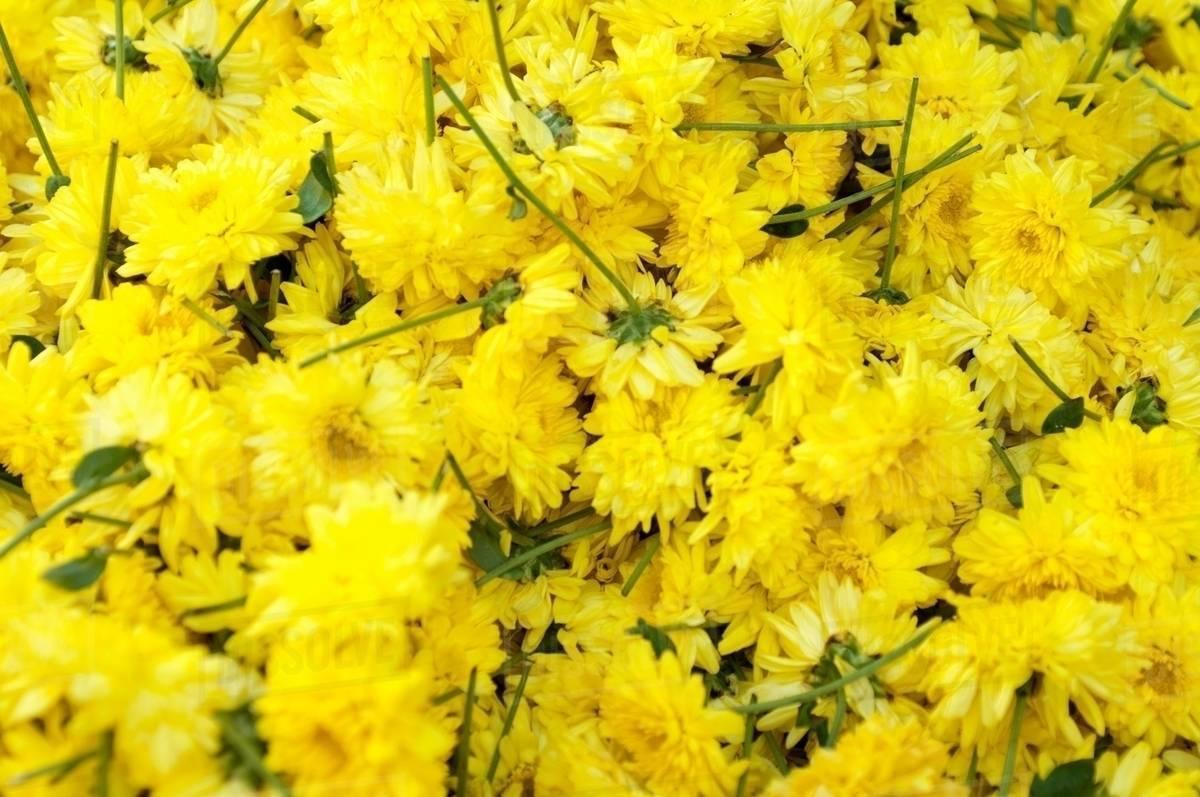 Yellow flowers for sale in market mysore india stock photo yellow flowers for sale in market mysore india mightylinksfo