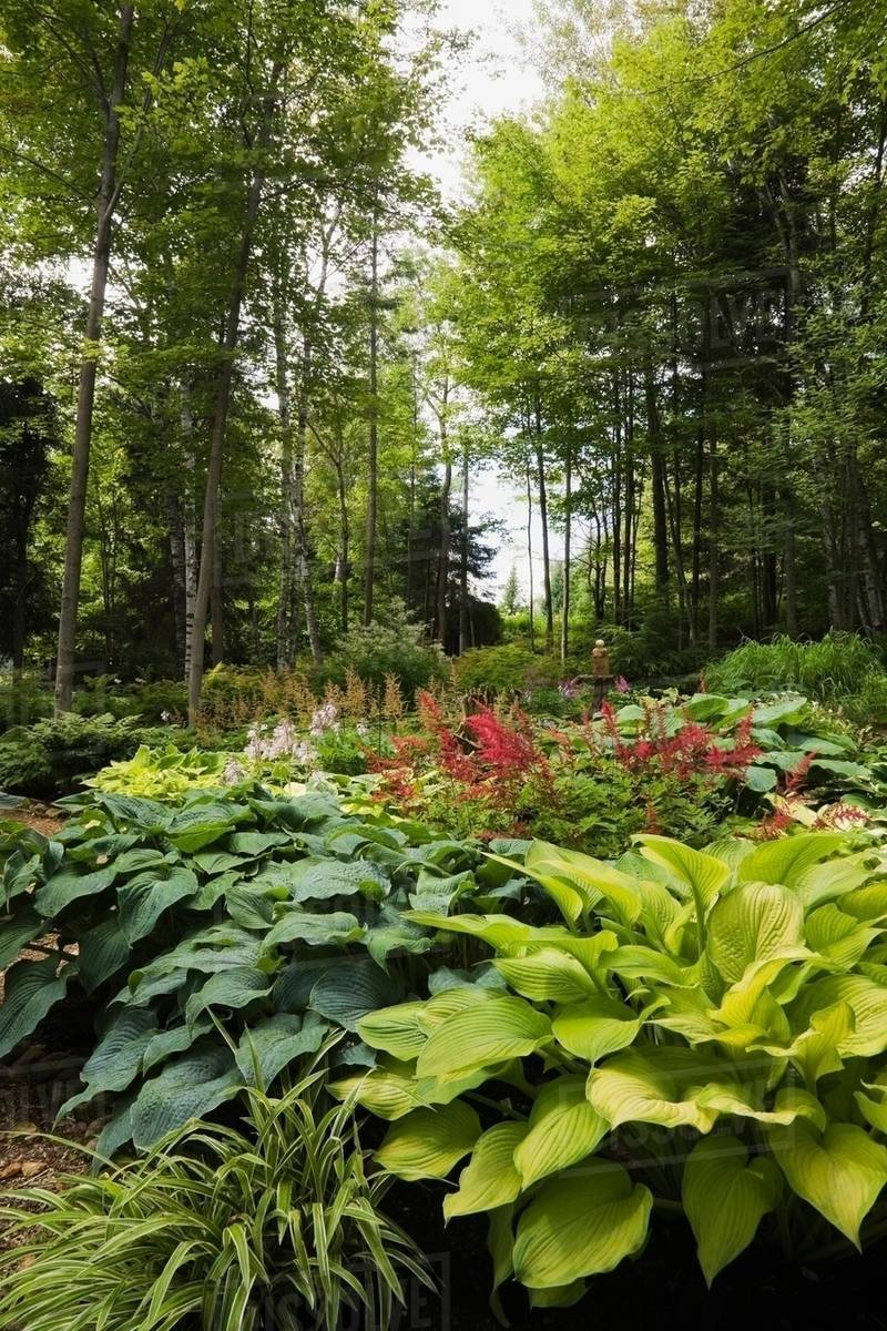 Woodland With Hosta Plants And Red Astilbes Stock Photo Dissolve