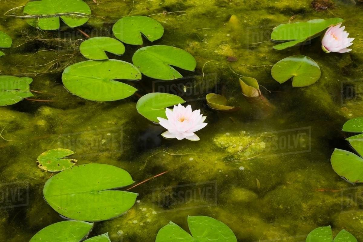 Lotus water lilies and lily pads on surface of pond stock photo lotus water lilies and lily pads on surface of pond izmirmasajfo