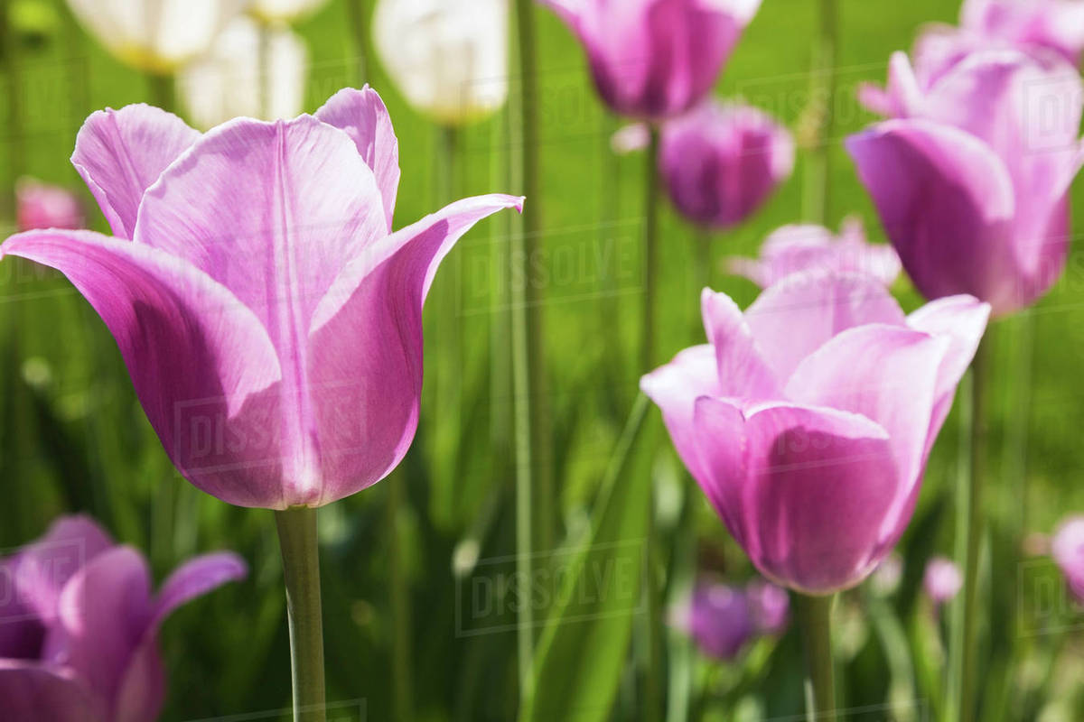 Close Up Of Mauve And White Tulipa Tulip Flowers In Spring Stock
