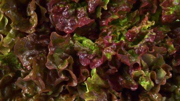 Oak leaf lettuce Royalty-free stock video