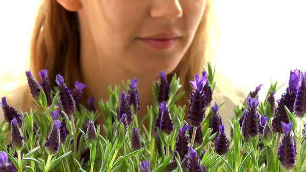 Young woman smelling lavender Royalty-free stock video