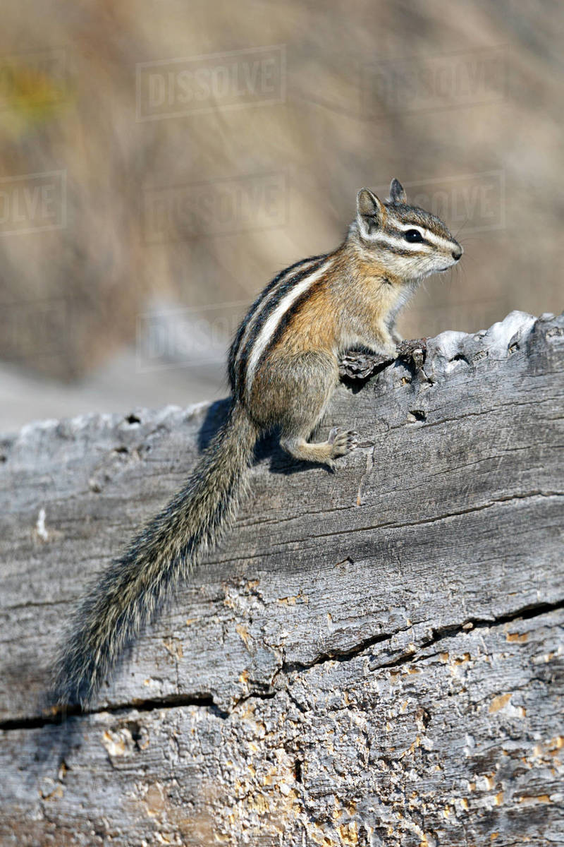 A chipmunk sits on top of a fallen log at turnbull wildlife refuge in Cheney, Washington. Royalty-free stock photo