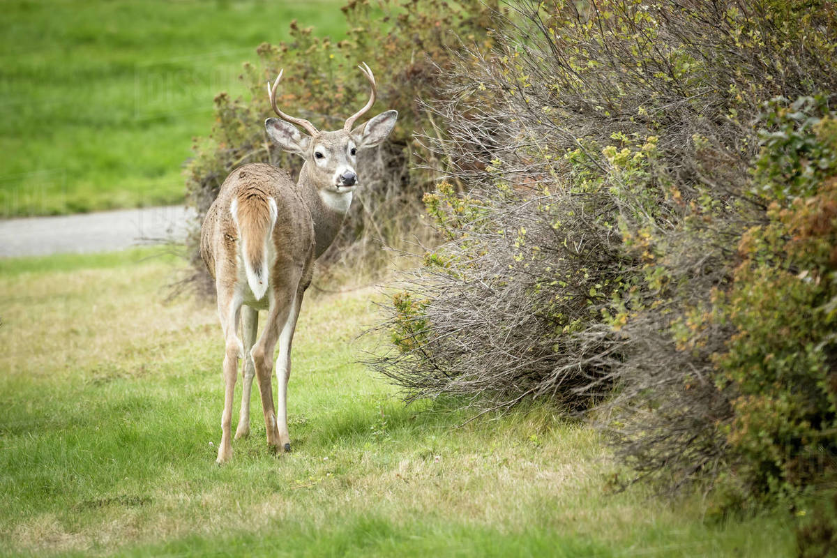 A male deer looks back at the camera at a park in north Idaho Royalty-free stock photo