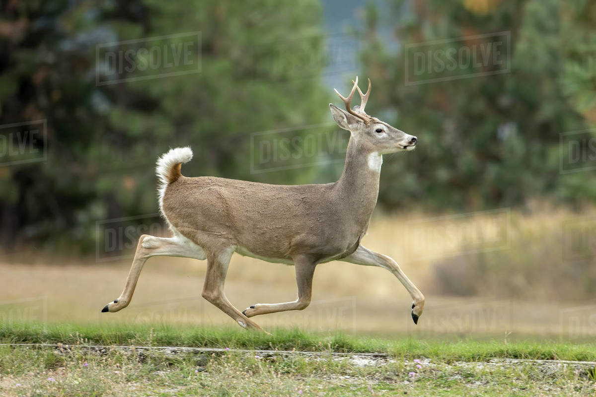 A white tail buck runs on the grass in a park in north Idaho Royalty-free stock photo