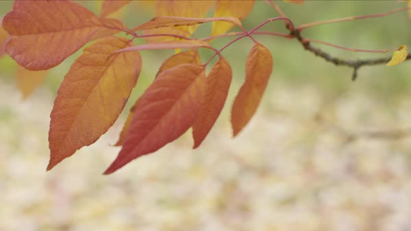 Closeup of Fall leaves Royalty-free stock video
