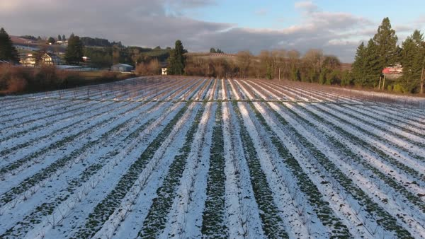 Flying over rows in farm field in winter with snow, Oregon USA Royalty-free stock video