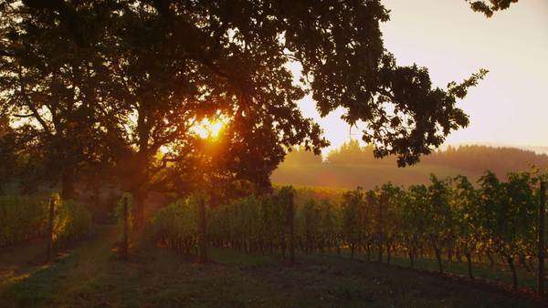 Sun shines through oak tree in vineyard at sunrise, Oregon. Royalty-free stock video