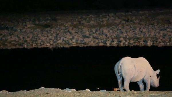 View of Rhino rubbing horn at night - Stock Video Footage