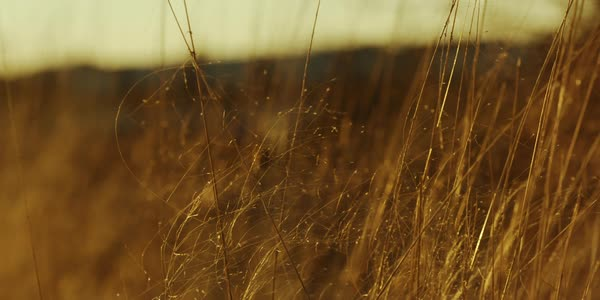 Static shot of tall grass swaying in wind Royalty-free stock video