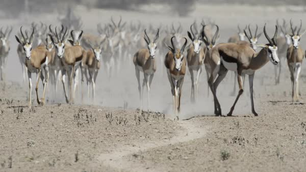A herd of springbok moving towards a waterhole during the hot summer months, before the rain arrives. Rights-managed stock video