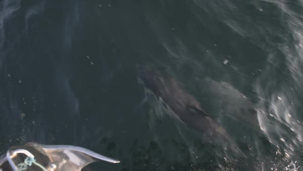 Common dolphins (Delphinus sp.) swimming and surfacing in the water, in front of the prow of a boat. Wales, UK. Rights-managed stock video