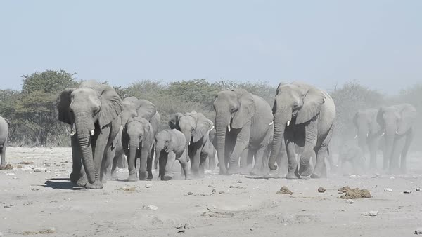 Herd of African elephants (Loxodonta africana) approaching Chudop waterhole in Etosha National Park, Namibia, Southern Africa. Rights-managed stock video