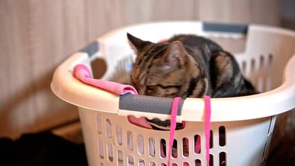 cute domestic innocent funny looking cat sitting on top of laundry