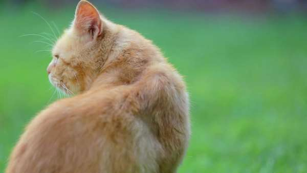 Fluffy orange cat outside in lawn. Orange cat with flat face looking around and walking towards camera. Royalty-free stock video