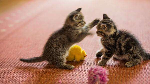 Cute Baby Cats Fight Over A Toy Two Adorable Little Kittens Argue Over A Yellow