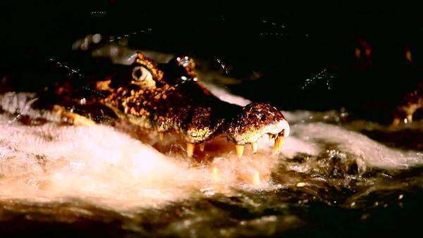 Close up of a crocodile lurking in rapidly flowing water Royalty-free stock video