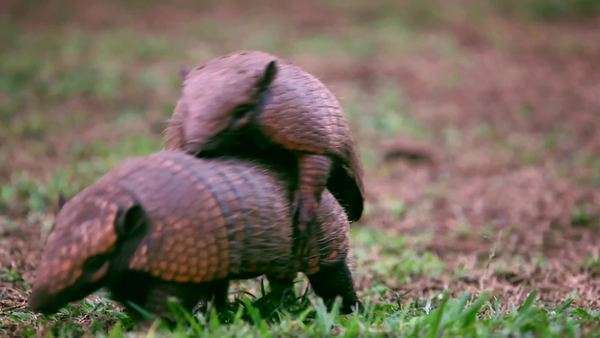 Close up of armadillos mating Royalty-free stock video
