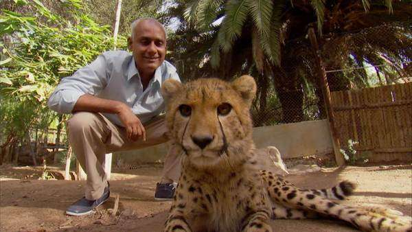 Low angle of a man petting a cheetah Rights-managed stock video