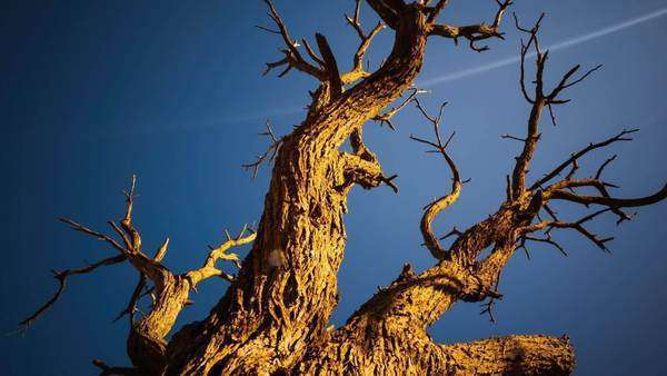 Linear, pan and tilt timelapse of dead abstract Acacia Tree against a blue sky with texture and sun flare, rotating Royalty-free stock video
