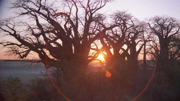 aerial group of baobab trees with sun on horizon reflecting rays through trees on edge of salt pan at sunset sunrise and dust blowing Rights-managed stock video