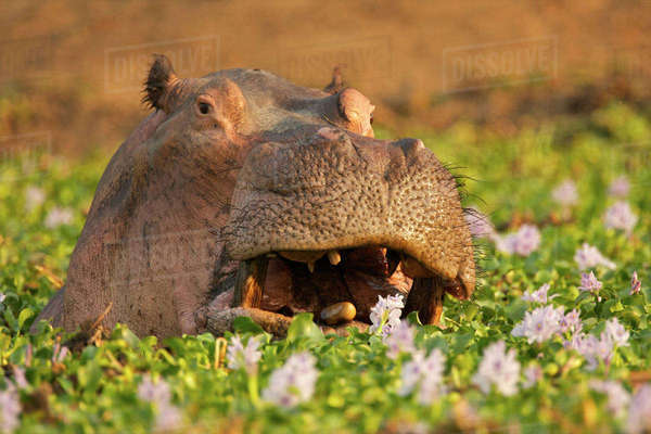Hippopotamus peering its head out of water flowers, Mana Pools, Zimbabwe Royalty-free stock photo