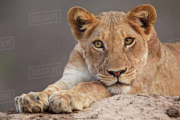 Close up of a lion cub on a rock in Mana Pools, Zimbabwe Royalty-free stock photo