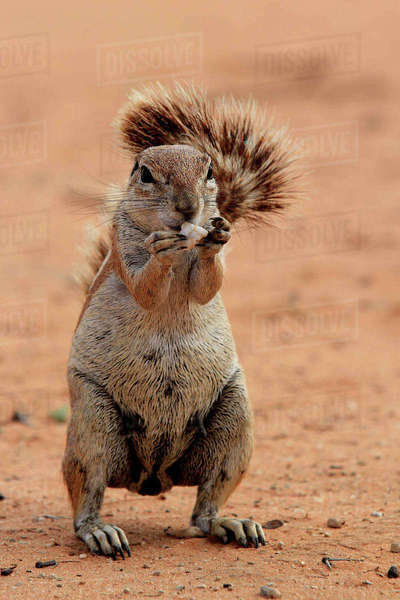 Close-up of a ground squirrel in the Kgalagadi Transfrontier Park Royalty-free stock photo
