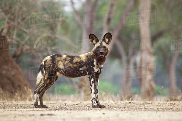 African wild dog in Mana Pools, Zimbabwe Royalty-free stock photo