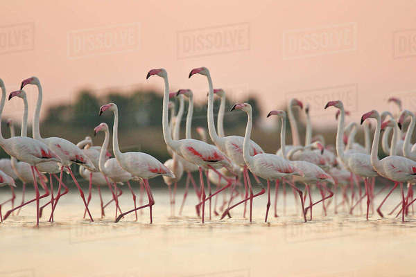 Flock of flamingos standing in water in Africa Royalty-free stock photo