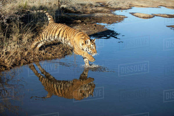 Tiger jumping in water, South Africa Royalty-free stock photo