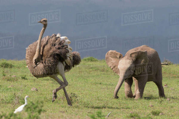 A elephant calf chases an ostrich in the Addo Elephant National Park Royalty-free stock photo