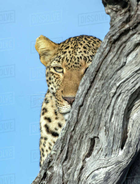 Hiding Leopard Royalty-free stock photo