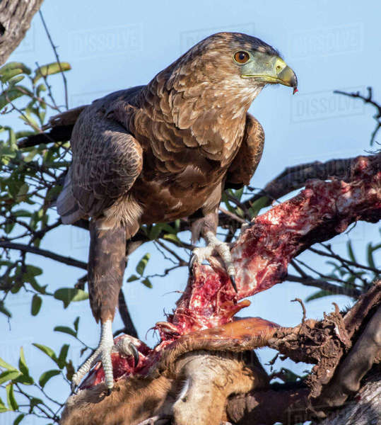 A bateleur standing over a carcass Royalty-free stock photo