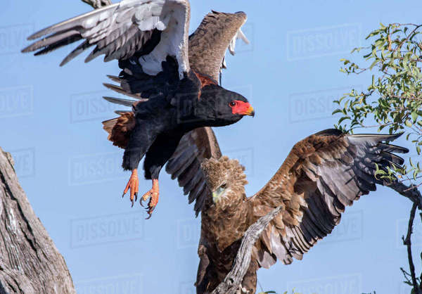Portrait of a bateleur in mid flight Royalty-free stock photo