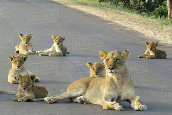 A lioness lying with her cubs Royalty-free stock photo
