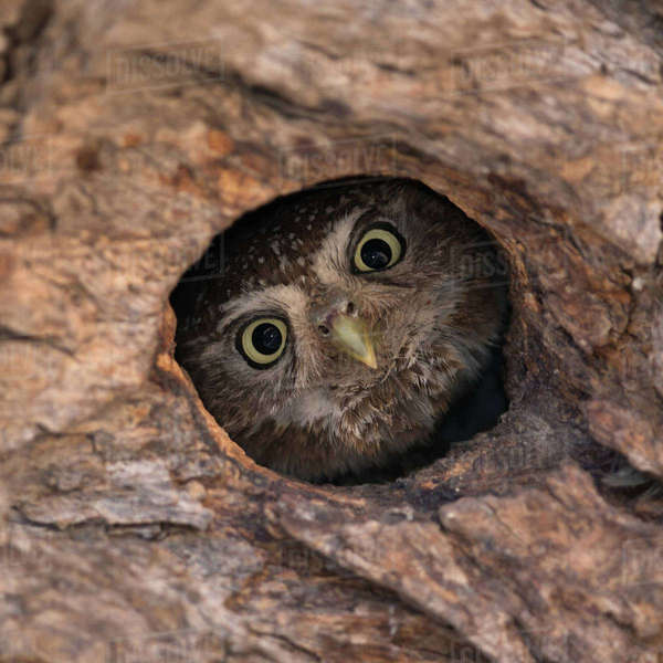 Owl looking out of a hole in a tree Royalty-free stock photo
