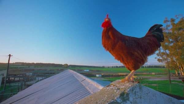close up red rooster looking around and crowing while standing on roof of building at sunset sunrise Rights-managed stock video