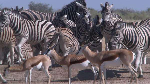 Long shot of herd of zebra and springbok walking about, Namibia Rights-managed stock video