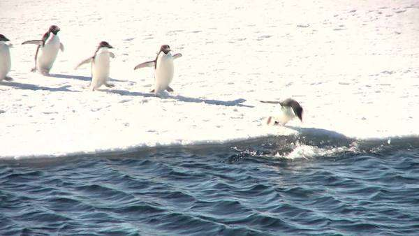 Long shot Emperor Penguins on the ice, running and diving into water (running between the ice) Rights-managed stock video