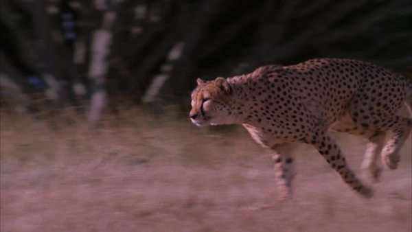 Slow motion pan of a cheetah running through the field Rights-managed stock video