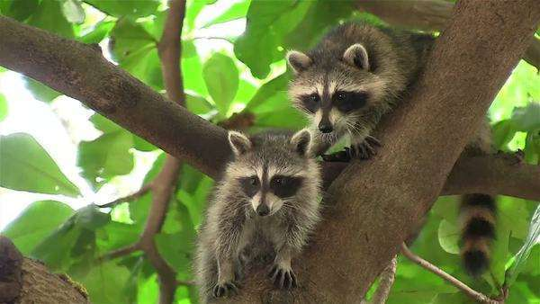 Two raccoons adopt a cute pose in a tree. Royalty-free stock video
