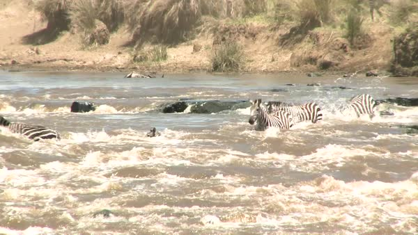 Zebras cross a raging river in Africa. Royalty-free stock video