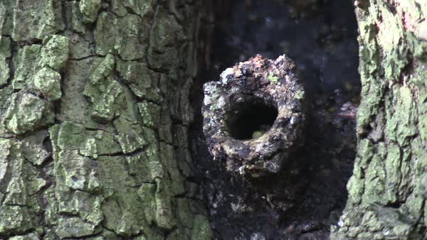 Hornets come and go from a nest in a tree. Royalty-free stock video
