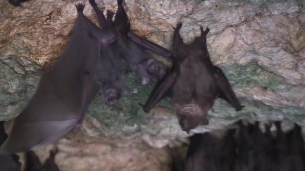 Close up of fruit bats in a cave in Cuba. Royalty-free stock video