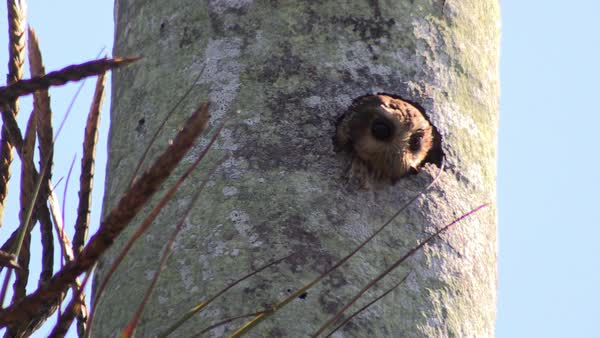 A pygmy owl looks out of his nest in a tree. Royalty-free stock video