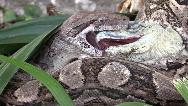 Extreme Close Up Of A Python Eating An Iguana Whole. Royalty Free Stock  Video