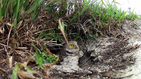 A burrowing owl emerges from his burrow. Royalty-free stock video