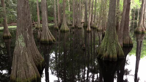 A panning view of a cypress swamp in the Everglades, Florida. Royalty-free stock video